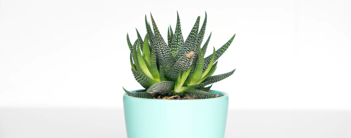 Cactus in light blue pot