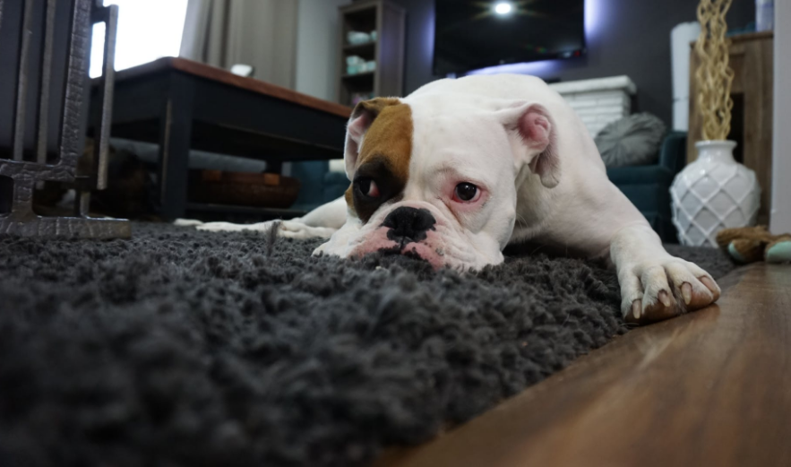 Dog laying on thick rug facing forward