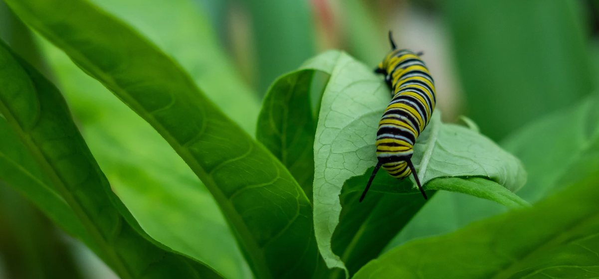 Yellow and black striped caterpillar on leaves