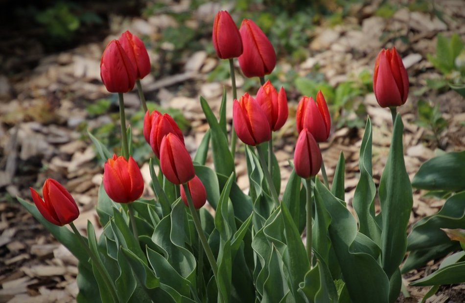 A flower bed of tulips