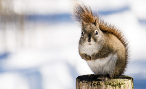 Squirrel in winter time
